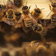 Bees - Varroa Mite Control