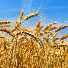Wheat Field Biofuels