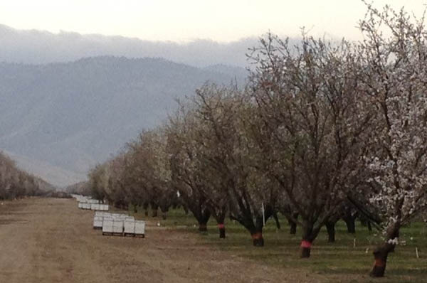 Beehives Almonds