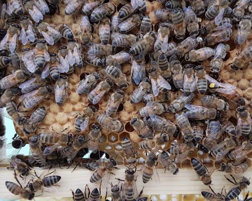 Hopguard Bees