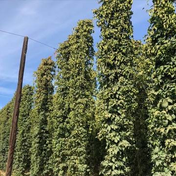 Hop Field Production